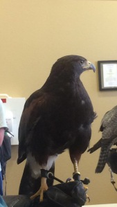 Chase, a female Peregrine falcon